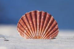 Shell στην άμμο με το μπλε υπόβαθρο Στοκ Φωτογραφίες