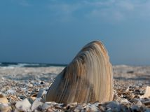 Shell 1 royalty free stock image