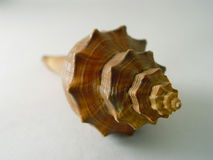Shell 1. Sea shell Stock Photo