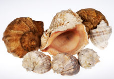 Shell. Of molyuska of the dwelling in a pool Black sea Stock Images