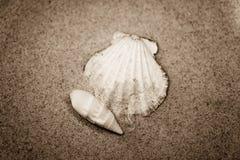 Shell Royalty Free Stock Image