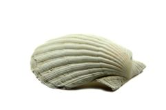 Shell. Big shell isolated in white Royalty Free Stock Image