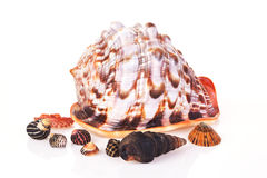 Shell. Sea shell isolated on white background Stock Photos