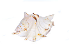 Shell. Big white ornamental see shell isolated on white background Stock Images