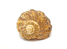 Shell. Small shell from see waters Royalty Free Stock Photo