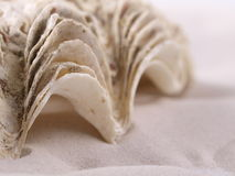 Shell. Dry Shell in the Sand Stock Image
