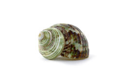 Shell. Sea cockleshell close up on white background Royalty Free Stock Photos