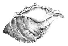 Shell. Original Artwork, drawn with pencil Vector Illustration