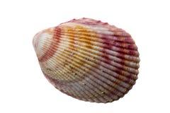 Shell zdjęcie royalty free