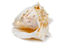 Shell Obrazy Royalty Free