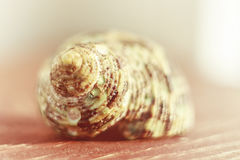 Shell Fotografia de Stock Royalty Free