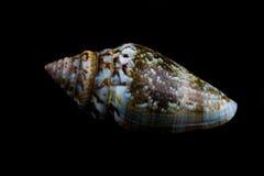 Shell Royaltyfri Bild