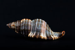 Shell Fotografia Royalty Free
