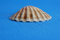 Shell. On blue background royalty free stock photos