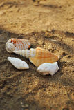 Shell Photo stock