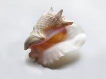 Shell Foto de archivo