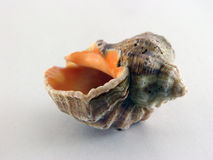 Shell. Sea shell Royalty Free Stock Photo
