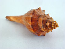 Shell. Sea shell Royalty Free Stock Photography