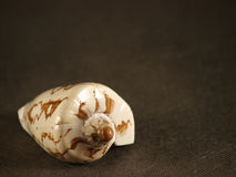 Shell. Sea shell on a grey background Stock Photo