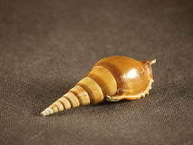 Shell. Sea shell on a grey background Royalty Free Stock Images