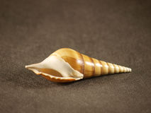 Shell. Sea shell on a grey background Royalty Free Stock Photo