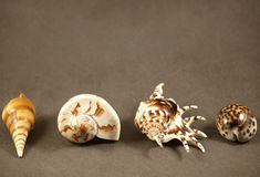 Shell. Sea shells on a grey background Royalty Free Stock Photo