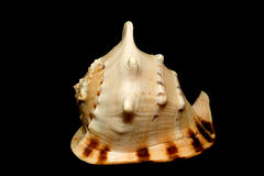 Shell. An isolated conch seashell over black Stock Images