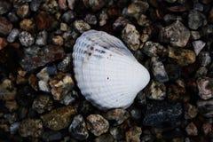 Shell Royaltyfri Foto