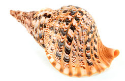 Shell Lizenzfreies Stockfoto