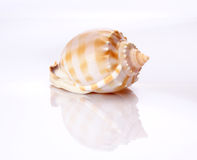 Shell. Against white background with inverted reflection Stock Photography