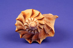 Shell. Spiral sea shell on a blue background Stock Images