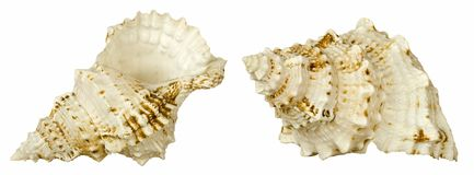 Shell. Two isolated shots of shell Royalty Free Stock Photography