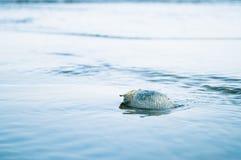Shell in acqua di mare Fotografia Stock Libera da Diritti