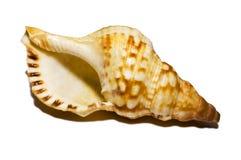 Shell aislado Fotos de archivo libres de regalías