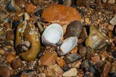 Shell aperto sulla spiaggia dell'assicella immagini stock libere da diritti