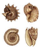 Shell Assortment 1. Photoshop Illustration. Hand colored 19th century shell etchings Stock Images