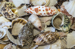 Shell assortment Stock Image