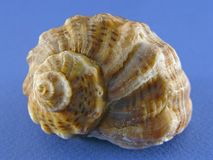 Shell auf Blau Stockfoto