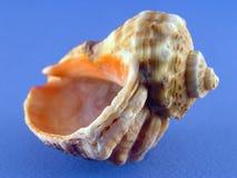 Shell auf Blau Stockfotografie
