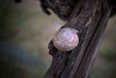 Shell av en snail Arkivfoto