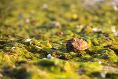 Shell avec l'algue Photo stock