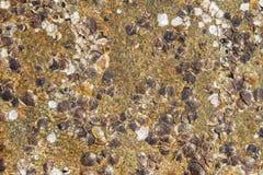 Shell avec la roche que la plage donnent une consistance rugueuse. Photo stock
