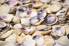 Shell background Royalty Free Stock Photo
