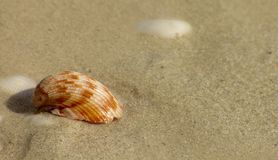 Shell on Beach. A shell on a beach with copy space on right of image Royalty Free Stock Images