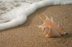 Shell on beach. Conch shell on beach with waves Stock Images