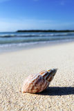 Shell on a beach Stock Photography