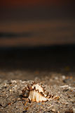 Shell at beach. During sunset royalty free stock images