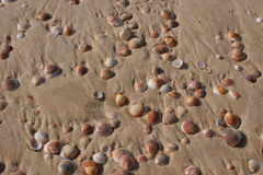 Shell on the beach. Shell on wet sand - Nitsanim beach Israel Royalty Free Stock Image