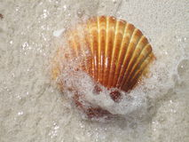 Shell on a Beach. With froth from waves Stock Image