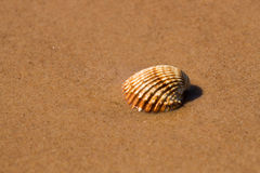Shell in beach. Sea shell in the wet beach sand Stock Images